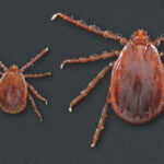 The Asian Longhorned tick was first found in North America on a farm in New Jersey. It has not yet been found in Canada.
