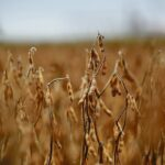 Soybean growers may need certification for EU
