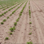 Herbicide injury rising in potato fields