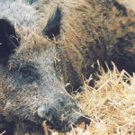 Canada, U.S. agree on plan if African swine fever infects wild pigs