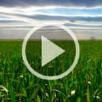 Wheat progress in Ontario, and do you need a fungicide?